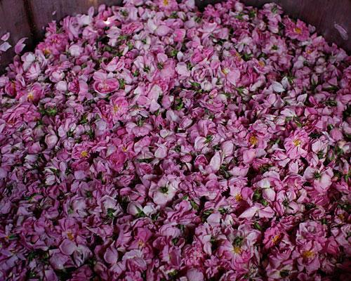 Aus der Rosa Damascena wird Rosenöl gewonen, das in der Beauty-Industrie heiß begehrt ist.