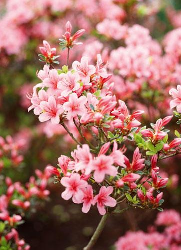 Für Balkon und Garten: Rosa Blumen und Pflanzen   BRIGITTE.de