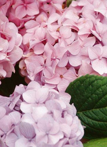 f r balkon und garten rosa blumen und pflanzen. Black Bedroom Furniture Sets. Home Design Ideas