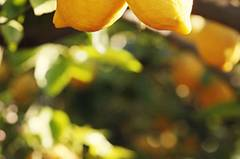 Zitronenbäumchen