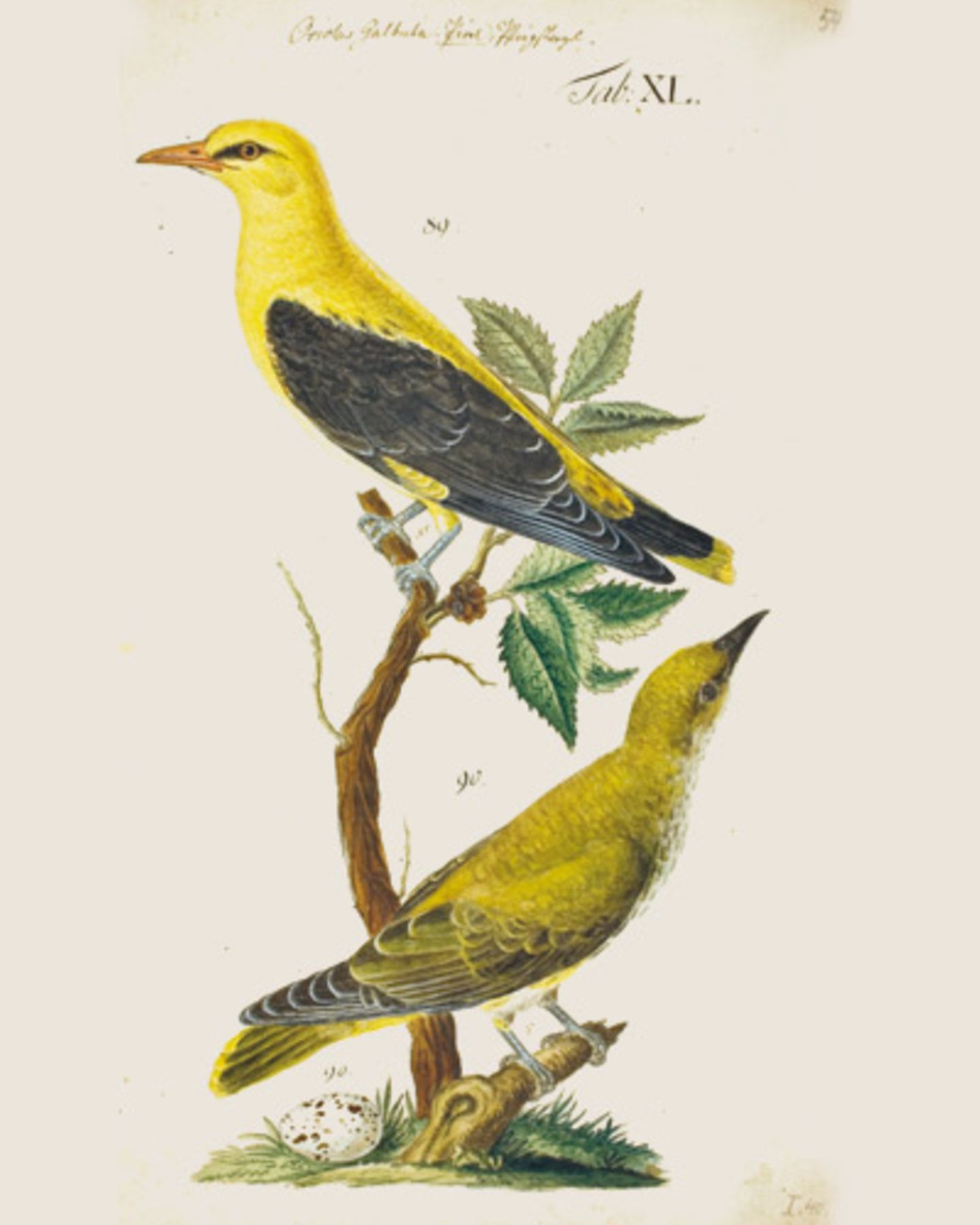 In einem opulenten Band (Die andere Bibliothek, Eichborn Verlag) sind nun 80 wunderschöne, bislang unveröffentliche Aquarelle des zu seiner Zeit berühmten, mit den Jahren leider vergessenen Vogelkundlers erschienen Priol, weiblich und männlich