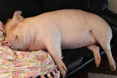 Wie Schweinchen Esther das Leben zweier Männer umkrempelte