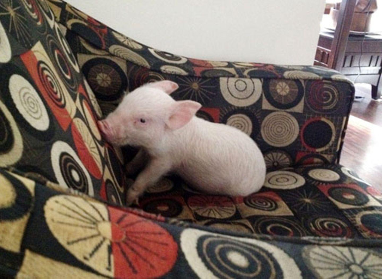 """Als Steve und Derek """"Minischwein"""" Esther kauften, wog sie gerade mal 1,8 Kilo."""