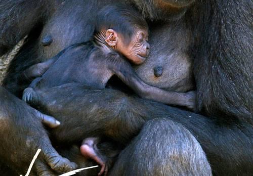 Rückblick: Mbeli hält ihr drei Tage altes Baby im Arm, das sich zufrieden an ihre warme Brust schmiegt. Es ist das erste Baby der Gorilladame, die 2012 von Frankreich aus um die halbe Welt geflogen ist, um in den Taronga Zoo in Sidney einzuziehen. In Freiheit leben Westliche Flachlandgorillas in den Regenwäldern und Sumpfgebieten Kameruns, in der Zentralafrikanischen Republik, Äquatorialguinea, Gabun und in der Republik Kongo. Sie sind vom Aussterben bedroht - auch weil ihr Fleisch geschätzt wird.
