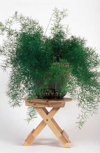 Zierspargel Asparagus