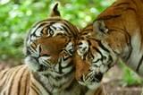 Wenn man auf die geschlossenen Augen blickt, wird wieder klar: Tiger sind irgendwie doch nur sehr, sehr große Katzen.