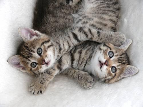 Tierliebe: Wenn Menschen schon gerne mit Katzenbabys kuscheln, dann wollen das die Katzen selbst erst recht - so wie diese beiden Fellknäuel, die nur kurz fürs Foto nach oben gucken.