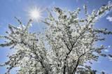 """""""Spring Blossoms"""" Kirschblüten in Quebec Province, Kanada."""