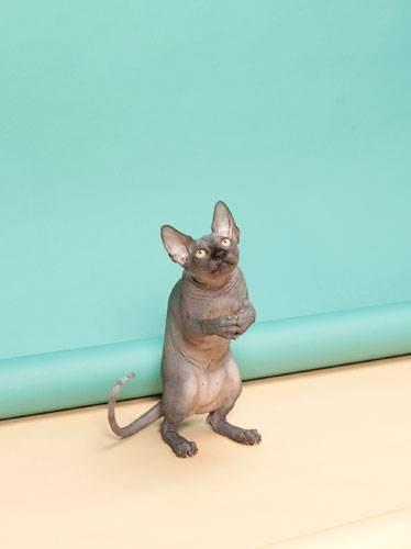 """Sony World Photography Awards 2015: Ein Bild aus der Foto-Reihe """"Animal Behaviour"""": Die nahezu haarlose Samtpfote gehört zu der Rasse der Sphinx-Katzen. Nur wen betet sie an?"""