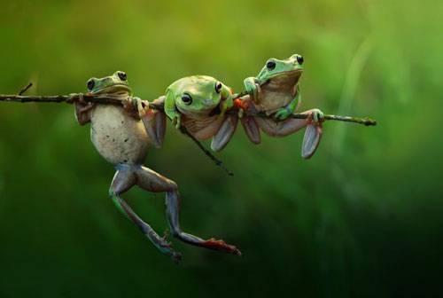 """Sony World Photography Awards 2015: Drei Frösche, ein Stock. Wer zieht hier wohl den Kürzeren? Dieses Bild wurde in der Kategorie """"Natur"""" eingereicht."""