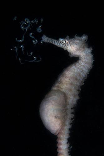 """""""Underwater Photographer of the Year"""": Die emanzipiertesten Tiere der Welt: Bei Seepferdchen bringen die Papas die Kinder zur Welt - ein Vorgang der kaum sichtbar auf diesem Bild eingefangen ist. (""""Good luck my babies"""" - Tammy Gibbs)    www.upylondon.com"""