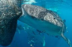 """Gibt es ein """"Drive Thru"""" für Raubfische? """"Whaleshark buffet"""" von Gary Peart ist einem glücklichen Zufall zu verdanken: Auf dem Besuch einer Fischereianlage in Indonesien tauchten plötzlich zehn Walhaie auf, die die Beute der Fischer bequem aus dem Netz herausschlürften. Größte Herausforderung für den Fotografen: Die Kamera lange genug ruhig halten, während ihn die restlichen Walhaie beiseite schubsen wollten, weil er beim All-you-can-eat-Büffet im Weg stand. www.upylondon.com"""
