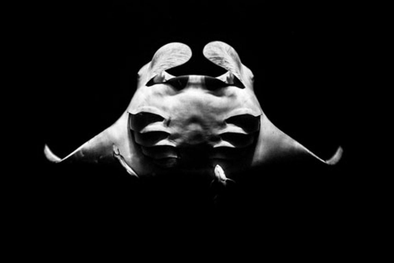 """""""From the Below"""" von Raffaele Livornese - ein Porträtfoto von einem Mantarochen das so kunstvoll ausgeleuchtet ist, dass man sich fast vorstellen kann, Rochen und Fotograf hätten es extra in einem Studio aufgenommen. www.upylondon.com"""