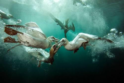 """""""Underwater Photographer of the Year"""": """"Gannets Feast"""" von Matt Doggett: Diese Vögel, auf Englisch """"Gannets"""" liefern sich einen erbitterten Kampf umd eine Makrele, was den Fotografen mit ins Chaos stürzte: """"Sie kamen in einem Tempo von fast 100 Stundenkilometern ins Wasser geschossen, ich musste schnell sein, um die Fotos zu kriegen"""". Eine Geschwindigkeit, die gar nicht zu dem deutschen Namen der Vögel passt: """"Basstölpel"""". www.upylondon.com"""