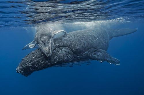 """""""Underwater Photographer of the Year"""": Kleiner Wal ganz groß: """"Osmosis"""" von Fabrice Guerin.    www.upylondon.com"""