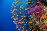 """""""Anthia turners"""" von Duncan Robins ist Produkt einer Geduldsprobe: Damit die Fahnenbarsche auf dem Foto in so schöner Formation an ihm vorbeischwimmen konnten, musste er lange am Korallenriff still stehen, damit die Fische nicht mehr in kopfloser Panik um ihn herumschwirrten. www.upylondon.com"""