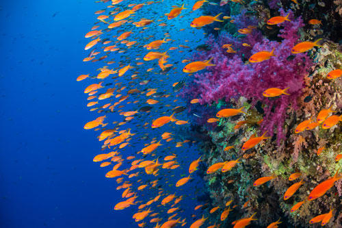 """""""Underwater Photographer of the Year"""": """"Anthia turners"""" von Duncan Robins ist Produkt einer Geduldsprobe: Damit die Fahnenbarsche auf dem Foto in so schöner Formation an ihm vorbeischwimmen konnten, musste er lange am Korallenriff still stehen, damit die Fische nicht mehr in kopfloser Panik um ihn herumschwirrten.      www.upylondon.com"""