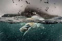 """Dreht eigentlich schon jemand einen Actionfilm über Basstölpel? Wir hätten schon mal das Poster. (""""Feeding Gannets"""" von Richard Shucksmith"""") www.upylondon.com"""