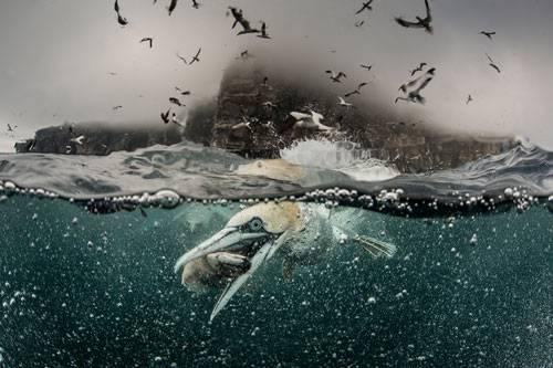 """""""Underwater Photographer of the Year"""": Dreht eigentlich schon jemand einen Actionfilm über Basstölpel? Wir hätten schon mal das Poster. (""""Feeding Gannets"""" von Richard Shucksmith"""")    www.upylondon.com"""