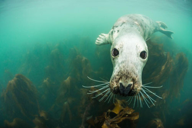 """Tierfotos, Pressefotos - praktisch alle Fotos haben eine Chance auf einen prestigeträchtigen Preis in einer Flut von Wettbewerben, wenn sie gut genug sind. Nur Bilder von Meer, Korallen und Unterwasserbewohnern gingen bisher stets unter - aber nun ist eine Rettungsboje für besonders schöne Unterwasserbilder aufgetaucht: Der frisch ins Leben gerufene """"Underwater Photographer of the Year""""-Preis, der 2015 erstmalig vergeben wurde. Die bestplazierten Fotos geben Einblick in eine Welt, die uns in vielerlei Hinsicht noch so unbekannt ist wie ein fremder Planet. Zum Glück gibt es dort aber auch freundliche Gesichter wie diesen Seehund (""""Big Eyes"""" von Adam Hanlon). www.upylondon.com"""
