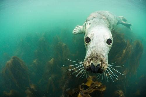 """""""Underwater Photographer of the Year"""": Tierfotos, Pressefotos - praktisch alle Fotos haben eine Chance auf einen prestigeträchtigen Preis in einer Flut von Wettbewerben, wenn sie gut genug sind. Nur Bilder von Meer, Korallen und Unterwasserbewohnern gingen bisher stets unter - aber nun ist eine Rettungsboje für besonders schöne Unterwasserbilder aufgetaucht: Der frisch ins Leben gerufene """"Underwater Photographer of the Year""""-Preis, der 2015 erstmalig vergeben wurde. Die bestplazierten Fotos geben Einblick in eine Welt, die uns in vielerlei Hinsicht noch so unbekannt ist wie ein fremder Planet. Zum Glück gibt es dort aber auch freundliche Gesichter wie diesen Seehund (""""Big Eyes"""" von Adam Hanlon). www.upylondon.com"""