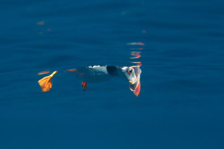 """""""Peekaboo puffin"""" von Matt Dogget - auch ein Papageientaucher braucht mal eine Auszeit. Dieser hier ließ sich selbst von zwei Fotografen in Schnorchel-Montur nicht aus der Ruhe bringen, die ihm von unten beim Treiben auf der Wasseroberfläche zusahen. www.upylondon.com"""