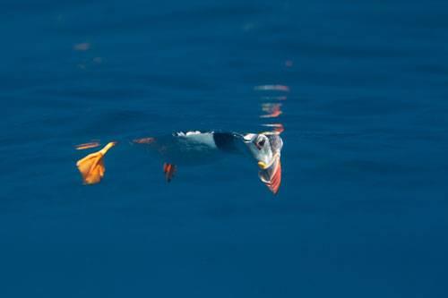 """""""Underwater Photographer of the Year"""": """"Peekaboo puffin"""" von Matt Dogget - auch ein Papageientaucher braucht mal eine Auszeit. Dieser hier ließ sich selbst von zwei Fotografen in Schnorchel-Montur nicht aus der Ruhe bringen, die ihm von unten beim Treiben auf der Wasseroberfläche zusahen. www.upylondon.com"""