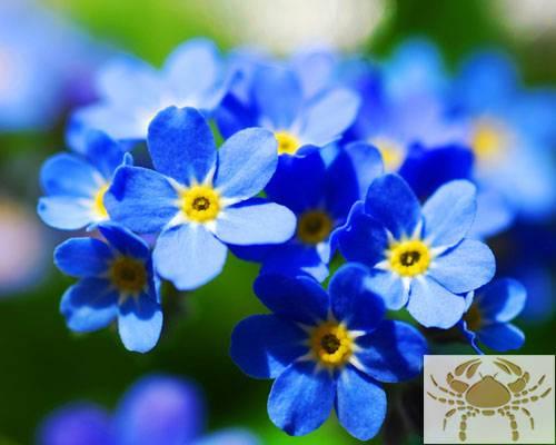 Diese Blumen liebt der Krebs