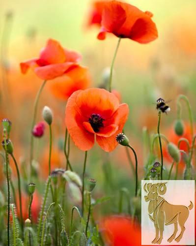 Diese Blumen liebt der Widder
