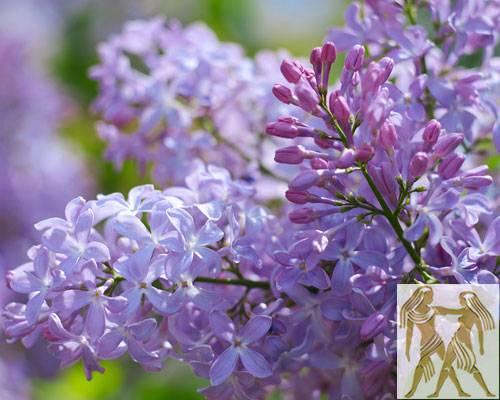 Diese Blumen liebt der Zwilling