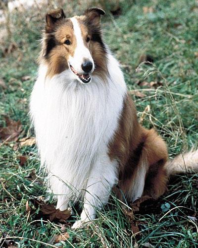 """Freundlich: Hund """"Lassie"""" ..."""