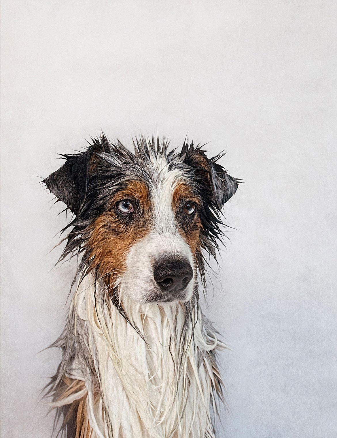 nasse hunde vor und nach der wanne diese hunde haben die haare sch n. Black Bedroom Furniture Sets. Home Design Ideas