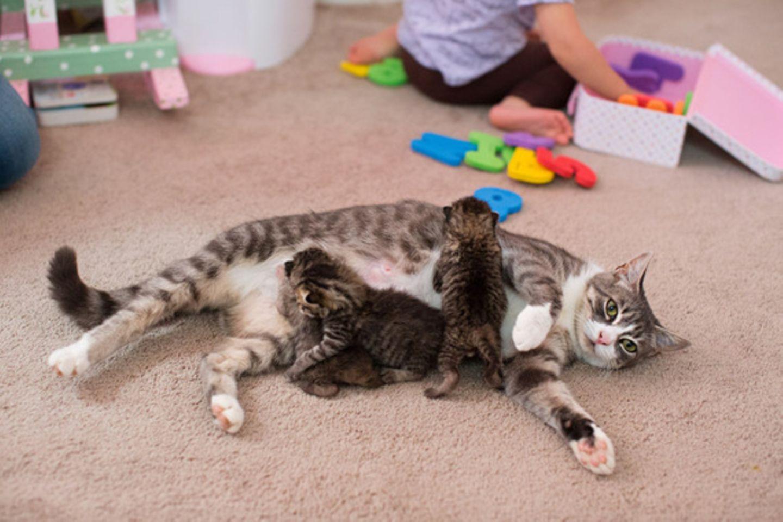 Welch wunderbare Wendungen das Leben doch nehmen kann: Nachdem Katzenmutter Mikey ihre drei Katzenbabys nach kurzer Zeit verlor, war sie untröstlich. Das arme Tier llitt so sehr, dass es ihrer Besitzerin Hillary das Herz brach. Aber ein erstaunlicher Zufall sorgte für ein glückliches Ende: Hillary stieß auf drei Katzenbabys, die kurz vorher ihre Mutter verloren hatten. Adoptivmama und Adoptivkätzchen hatten keine Berührungsängste und sind mittlerweile unzertrennlich.
