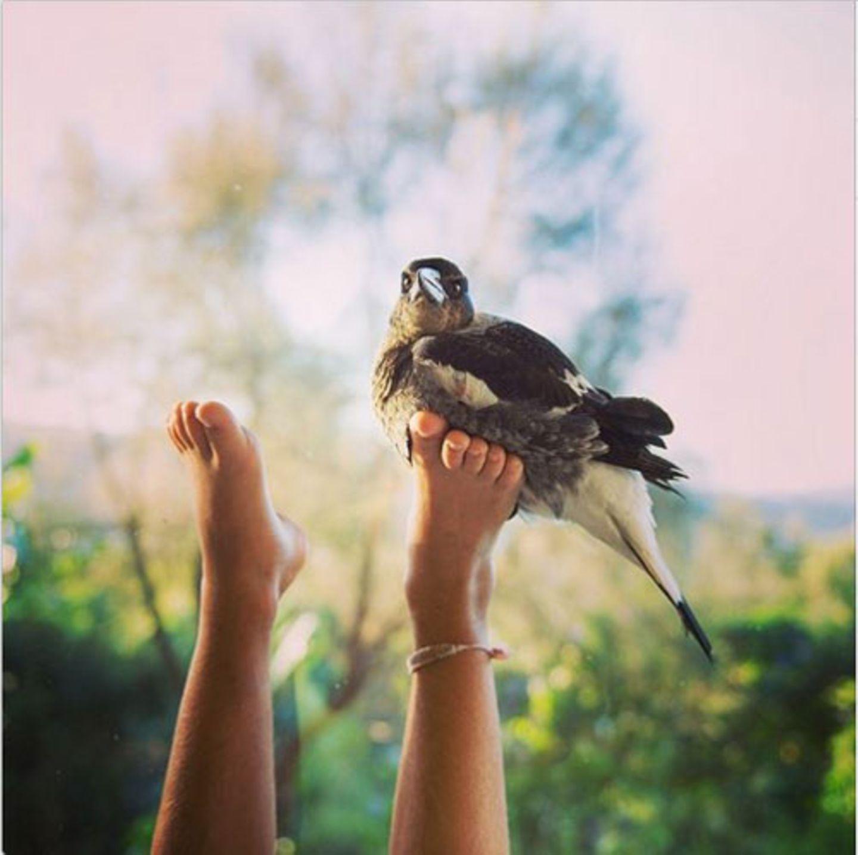 In einem Käfig wohnt Penguin nicht - die Elster darf frei herumfliegen und führt ein fast normales Vogelleben.