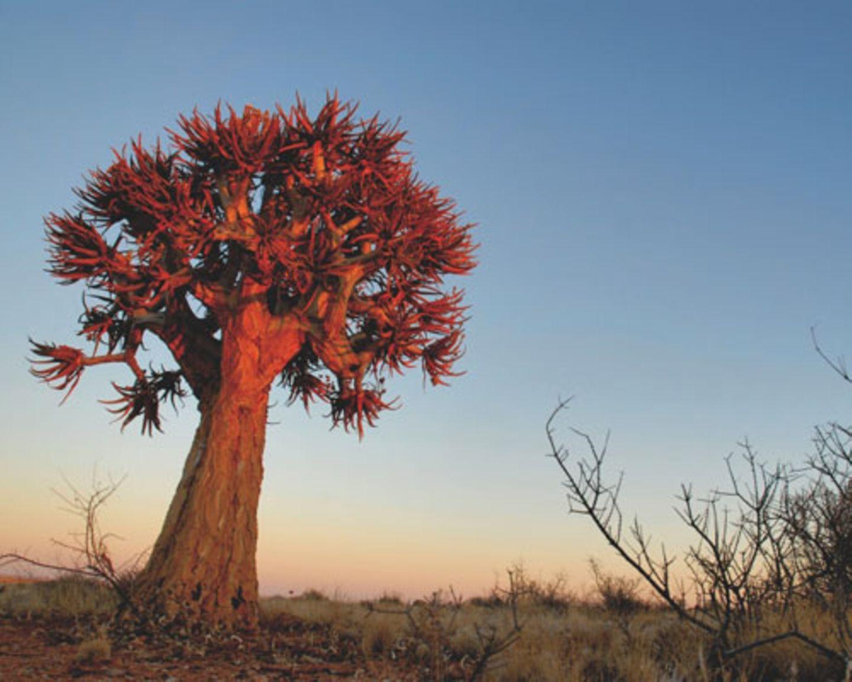 """Im Namaqualand im Nordwesten Südafrikas wachsen Pflanzen wie dieser """"halfmens"""" - """"Halbmensch""""."""
