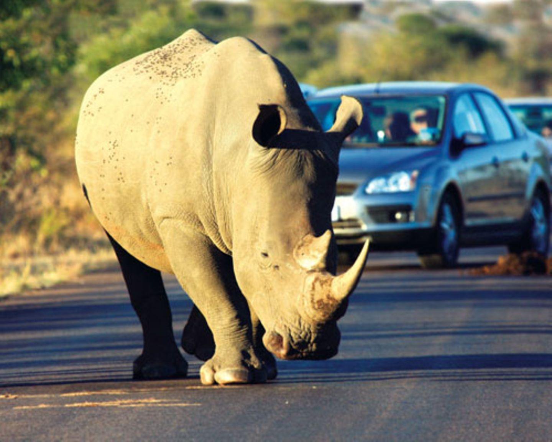 Im Krüger-Nationalpark - Nashörnern sollte man nicht zu nahe kommen. Wenn diese Urtiere ihren mächtigen Körper in Bewegung setzen, bebt die Erde.