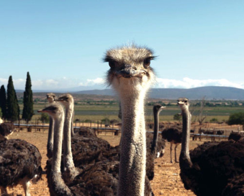 Auf Show-Farmen in Oudtskoorn können Gäste etwas über die Straußenzucht erfahren, Tiere füttern und vielleicht sogar bei einem Straußenrennen zuschauen.