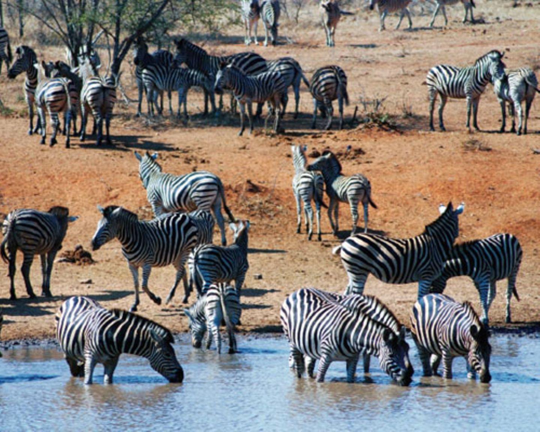 Am Wasserloch treffen sich in der Trockenzeit früher oder später fast alle Tiere. Zebras lassen sich beim Trinken nicht aus der Ruhe bringen - außer wenn ein Löwe auftaucht.
