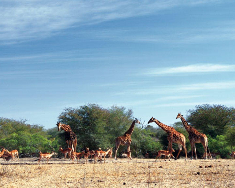 Impalas und Giraffen treffen sich gemeinsam am Wasserloch im Krüger-Nationalpark - dem berühmtesten Park des Landes.