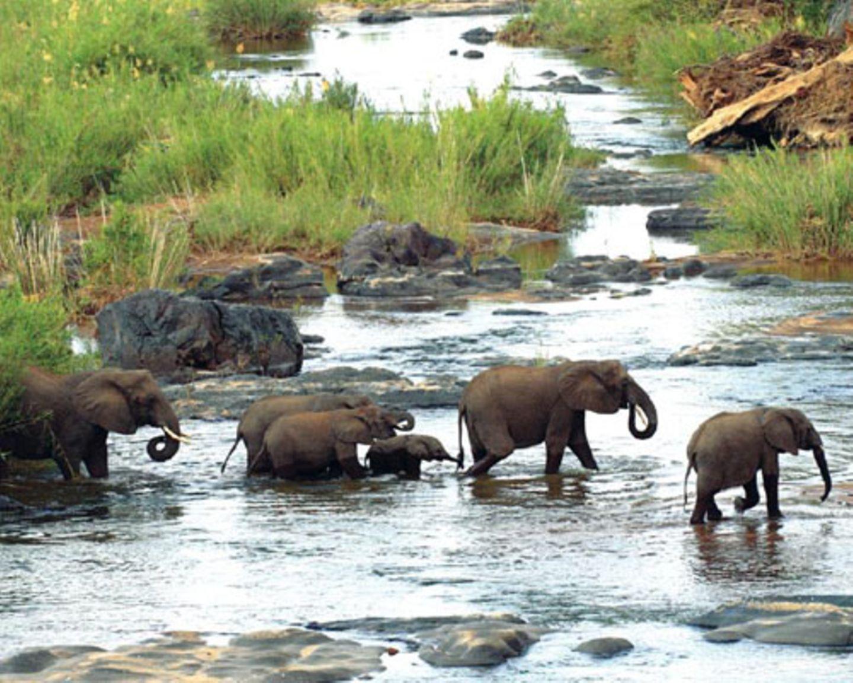 Quert eine ganze Elefanten-Herde den Fluss, suchen junge Elefanten häufig Halt beim Vordertier.