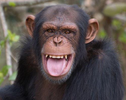 Persönlichkeit: Auch einige Tierarten können lächeln – oder zumindest etwas ähnliches. Bei Pavianen und Makaken ist Zähnefletschen eine Geste, die Gegner oder ranghöhere Tiere beschwichtigen soll. Für feinere Nuancen fehlt ihnen die Gesichtsmuskulatur. Menschenaffen beherrschen sogar eine ganze Palette lächelnder Gesichtsausdrücke: vom schadenfroh zuckenden Mundwinkel, wenn einer dem anderen einen Streich spielt, bis zum freundlichen Lächeln zur Begrüßung.
