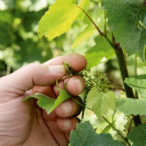 Die noch kleinen Trauben, im Weinlaub versteckt