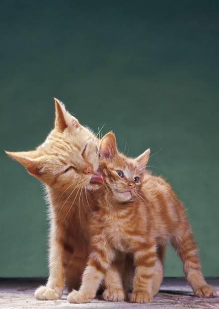 """Cat Content: Sie sind die vermutlich schwierigsten Fotomodels der Welt - und trotzdem die beliebtesten: Katzen entzücken einfach jeden, weltweit, immer. Das beweisen uns ihre millionenfach geteilten und geherzten Bilder in sozialen Netzwerken wie Facebook oder Instagram. Das Starpotenzial der flauschig-launischen Diven erkannte der Fotograf Walter Chandoha schon lange, bevor das Internet sie dazu machte. """"Katzen haben ihren eigenen Kopf - sie tun und lassen, was sie wollen"""", schreibt er in seinem neu erschienenen Buch """"The Cat Photographer"""". Dass er einen guten Draht zu Tieren hat, merkte der inzwischen 95-jährige Amerikaner schon früh in seiner Karriere. Er hatte bereits Hunde, Pferde und Hühner vor der Linse - doch Katzen waren und sind wegen ihrer natürlichen Ausdrucksstärke noch immer seine Lieblingsmodels. Und das, obwohl ein Shooting mit ihnen viel Geduld und gute Nerven erfordert. In den vergangenen 40 Jahren erschienen seine Katzenbilder in Magazinen, Büchern und als Werbemotive (fun fact: nicht nur für Tierfutter, sondern auch für Schuhe und Reizwäsche). Seinen Erfolg habe er seiner Frau Maria zu verdanken, schreibt Chandoha. Sie habe die Tiere bei Laune gehalten, während er im heimischen Fotostudio in New Jersey wie wild auf den Auslöser drückte. Um die Katzen dazu zu bringen, in die Kamera zu schauen, ahmte er verschiedenste Tierlaute nach oder machte Klopfzeichen. """"Der Augenkontakt muss genau richtig sein"""", sagt er. Dass er ein Meister seines Fachs ist, beweisen seine herzigen Aufnahmen."""