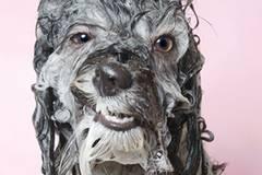 """Einer hat den Mund leicht geöffnet und sieht aus, als würde er verschmitzt grinsen. Ein anderer schaut arg bedröppelt aus der Wäsche – womit wir mitten im Thema sind: nasse Hunde . Die Fotografin Sophie Gamand hat Hunde kurz vor dem Moment abgelichtet, bevor sie sich das Wasser aus dem Fell schütteln. Das Ergebnis: unfassbar süße Schnappschüsse. """"Ich war für ein anderes Projekt bei einem Hundefriseur und sah, wie er die Hunde abbrauste. Wie sie ihre Gesichter verzogen, war zum Schreien! Einerseits wollte ich mich schlapplachen, aber gleichzeitig fühlte sich ein Teil von mir schuldig, dass wir unseren Hunden so etwas antun"""", sagt die französische Fotografin im Interview mit Phoblographer. Die Wahl-New Yorkerin hat sich seit 2010 auf Hundefotografie spezialisiert und setzt sich auch als Tierrechtsaktivistin für die Vierbeiner ein. In einem anderen Projekt setzte Gamand schwer vermittelbare Pitbulls aus Tierheimen mit einem Blumenkranz auf dem Kopf in Szene – und zeigte so die sanfte Seite der vermeintlichen """"Kampfmaschinen"""". Ihre Arbeiten wurden mehrfach prämiert und in internationalen Magazinen veröffentlicht. Kleiner Tipp: Hunde nicht zu häufig baden. Damit die Fettschicht der empfindlichen Hundehaut nicht beschädigt wird, sollte dabei auch nur spezielles Hunde-Shampoo benutzt werden. Mehr Fotos von Sophie könnt ihr auf ihrer Website oder bei Instagram anschauen."""
