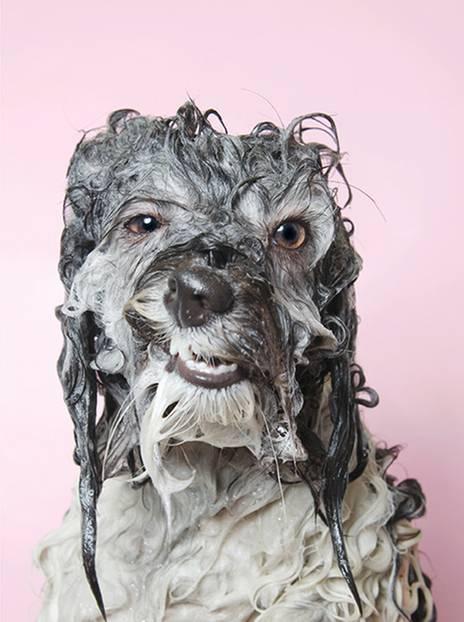 """Wet! Wet! Wet!: Einer hat den Mund leicht geöffnet und sieht aus, als würde er verschmitzt grinsen. Ein anderer schaut arg bedröppelt aus der Wäsche – womit wir mitten im Thema sind: nasse Hunde . Die Fotografin Sophie Gamand hat Hunde kurz vor dem Moment abgelichtet, bevor sie sich das Wasser aus dem Fell schütteln. Das Ergebnis: unfassbar süße Schnappschüsse. """"Ich war für ein anderes Projekt bei einem Hundefriseur und sah, wie er die Hunde abbrauste. Wie sie ihre Gesichter verzogen, war zum Schreien! Einerseits wollte ich mich schlapplachen, aber gleichzeitig fühlte sich ein Teil von mir schuldig, dass wir unseren Hunden so etwas antun"""", sagt die französische Fotografin im Interview mit Phoblographer. Die Wahl-New Yorkerin hat sich seit 2010 auf Hundefotografie spezialisiert und setzt sich auch als Tierrechtsaktivistin für die Vierbeiner ein. In einem anderen Projekt setzte Gamand schwer vermittelbare Pitbulls aus Tierheimen mit einem Blumenkranz auf dem Kopf in Szene – und zeigte so die sanfte Seite der vermeintlichen """"Kampfmaschinen"""". Ihre Arbeiten wurden mehrfach prämiert und in internationalen Magazinen veröffentlicht. Kleiner Tipp: Hunde nicht zu häufig baden. Damit die Fettschicht der empfindlichen Hundehaut nicht beschädigt wird, sollte dabei auch nur spezielles Hunde-Shampoo benutzt werden. Mehr Fotos von Sophie könnt ihr auf ihrer Website oder bei Instagram anschauen."""