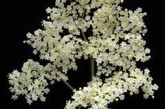 Schwarzer Holunder (Sambucus nigra) stärkt die Abwehrkräfte