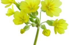 Schlüsselblumen (Primula veris) befreien verstopfte Atemwege