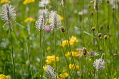 Spitzwegerich (Plantago lanceolata) beruhigt gereizte Schleimhäute