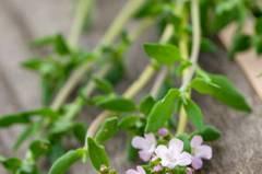 Thymian (Thymus vulgaris) lindert Krämpfe und bekämpft Keime