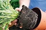 Die Pflanzen vorsichtig austopfen. Damit sich der Wurzelballen löst, den Topf an den Seiten leicht eindrücken, dichten Wurzelfilz etwas abzupfen.